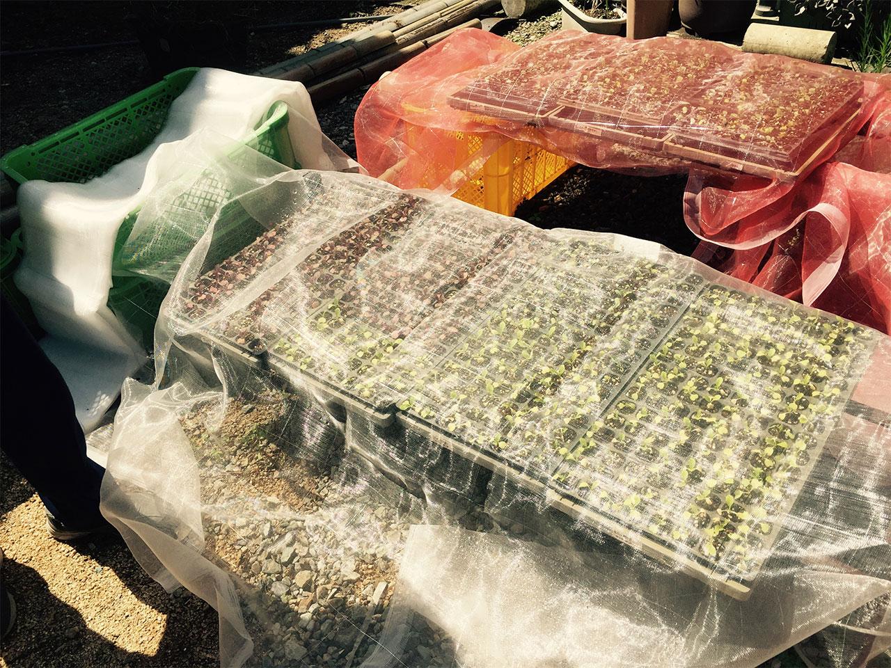 冬に食べれる紫白菜の苗たち。 キトテノワのランチにも登場するかも♪